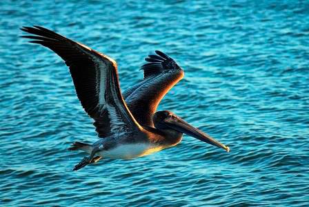 Sanibel-Island-Pelican