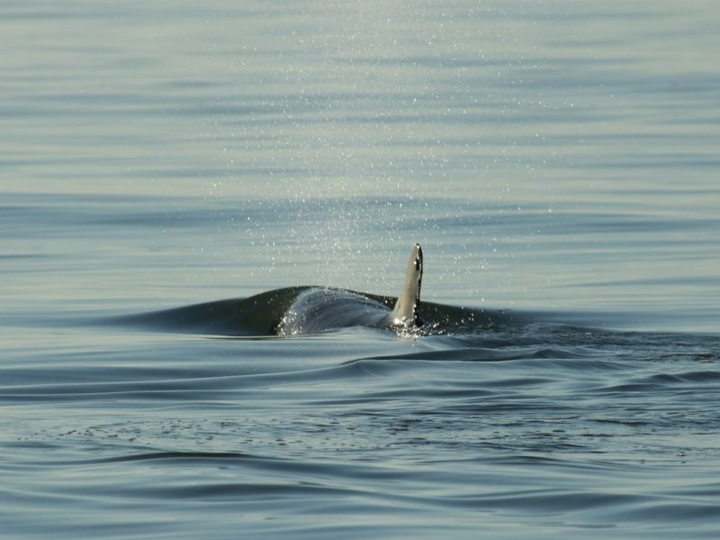 Sanibel-Island-Dolphin