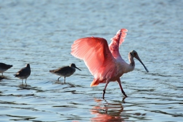Roseate Spoonbill and other water birds walk the shore