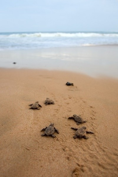 Turtle hatchlings heading to the Gulf