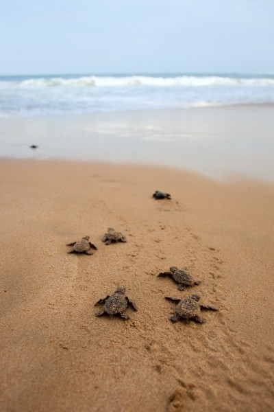 Baby turtles on the beach making their way to the water.