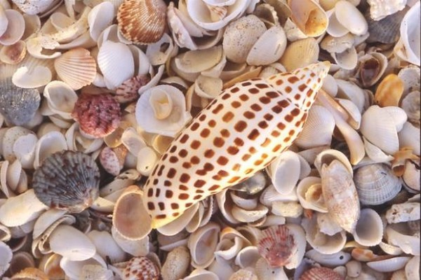lots of shells on the beach with large Juniona