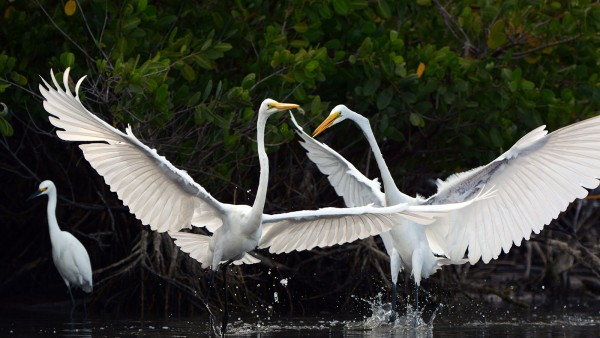 great egrets in the mangroves