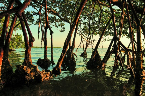 Mangroves in water