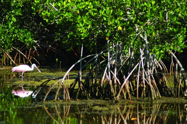 Roseate Spoonbill Mangroves